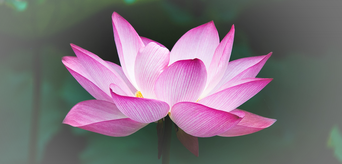 lotus-dos-sonhos